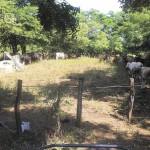 Pie de foto: Una nueva alternativa de alimento para el ganado en tiempo de sequía se ofertará en los próximos meses en el departamento de León y resto del país. La mayoría de los productores del país desconocen este nuevo producto. El nuevo alimento es llamado Harina de Neem. LA PRENSA/E.LOPEZ